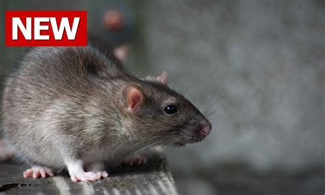 signs of rats in house how to get rid of rats how to kill rats how to kill a rat how to best get rid of