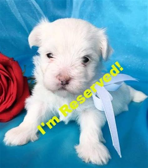 teacup maltese puppies for sale in nc maltese puppies for sale in carolina maltese breeders in nc happytail puppies