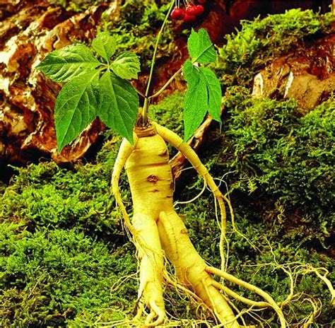 Ginseng Di Korea compare prices on ginseng root shopping