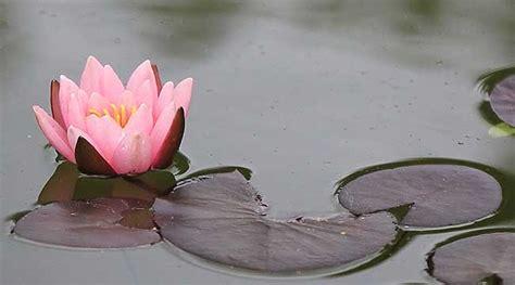 fiore d loto fiore di loto come coltivarlo al meglio fai da te in