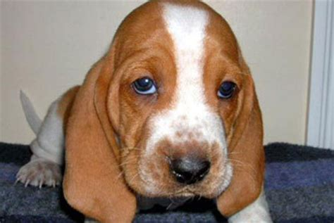 basset hound puppies ny basset hound puppies for sale in westchester new york