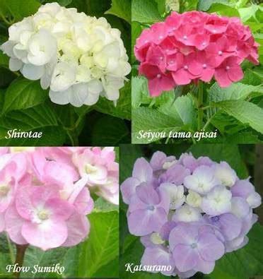 jual bibit tanaman bunga panca warna halaman belakang