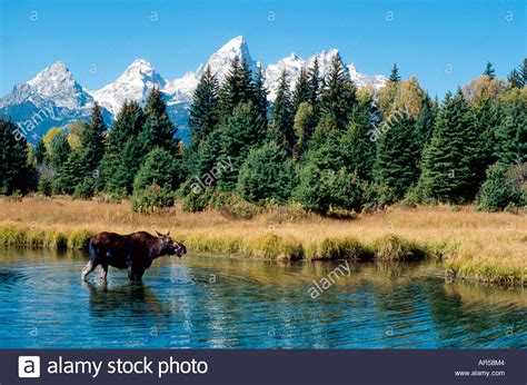 another summer the yellowstone park and alaska classic reprint books elch alces alces moose grand teton np wyoming usa im