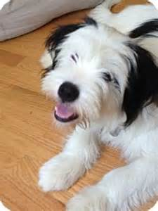 havanese terrier mix west warwick ri havanese tibetan terrier mix meet snoopy in ri a for adoption http