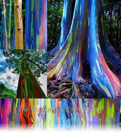 rainbow eucalyptus eucalyptus deglupta rainbow eucalyptus 50 viable seeds