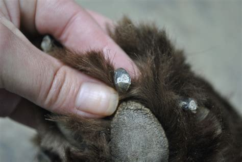 how should nails be how to safely trim your s black nails mybrownnewfies