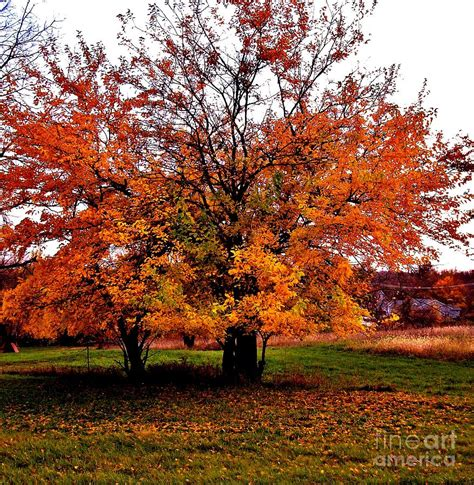 fall tree in fall colors photograph by marsha heiken