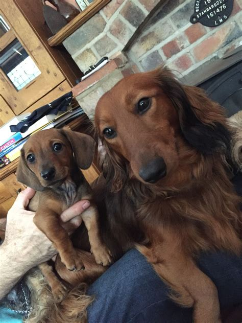 dachshund puppy for sale 1 dachshund puppy left for sale lutterworth leicestershire pets4homes