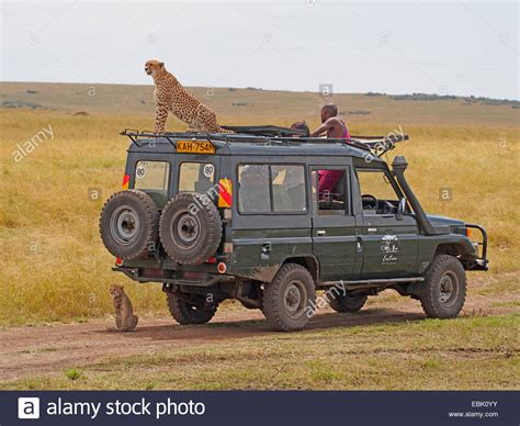 safari jeep cheetah acinonyx jubatus sitting on the roof of a