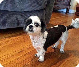 shih tzu puppies new hshire betsy adopted salem nh shih tzu mix
