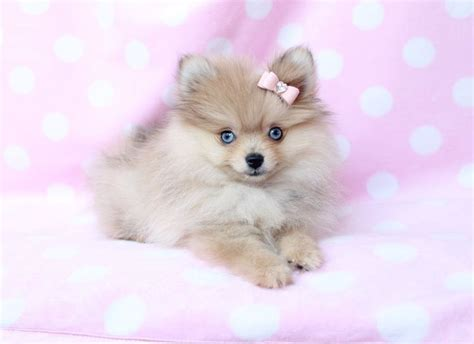 141 Best Images About Teacup Pomeranian Puppies For Sale On Tea Cups