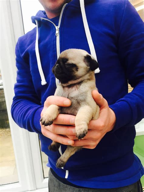 pug puppies for sale in swansea pug puppies for sale kc reg swansea swansea pets4homes