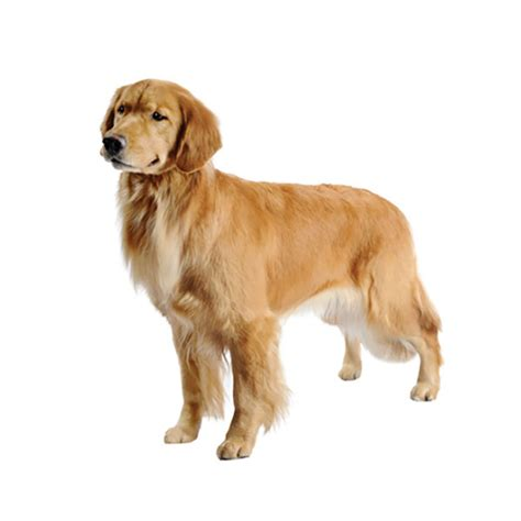 medium sized golden retriever golden retriever find a breed petcentric by purina