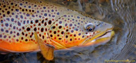 yellowstone trout  scenic fly fishing portraits