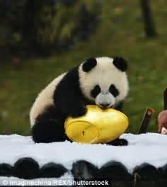 woman  dyed pet chow chow dogs    pandas