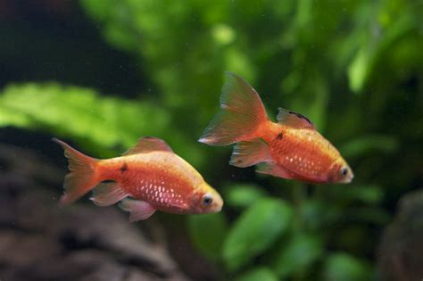 chas compilation another gold fish substitute rosy barbs