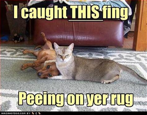 cat pees on rug litter box sand chesapeakes