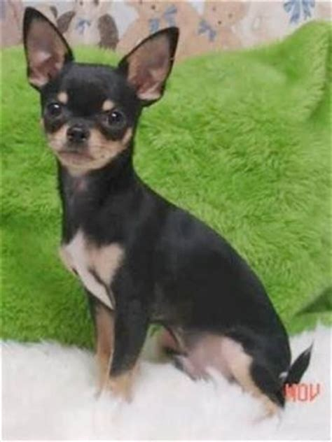 free chihuahua puppies in pa chihuahua puppies for free adoption