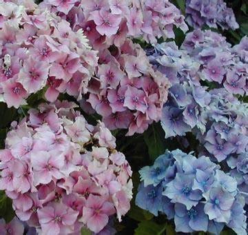 Quand Planter Les Hortensias by Quand Planter 1 Hortensia