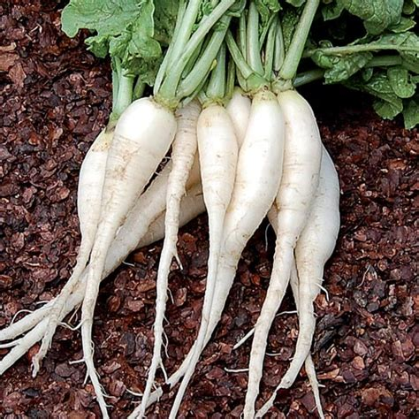pungent root vegetable white icicle radish seed savers exchange