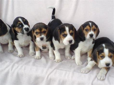 welpen gesucht beagle welpen in hansestadt salzwedel hunde kaufen und