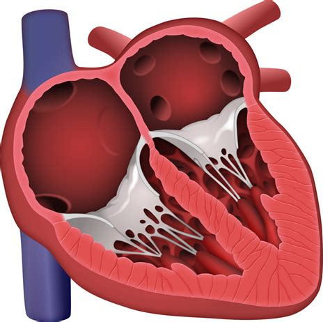human heart cross section medical images art science graphics