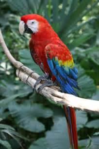 scarlet macaw beauty of bird