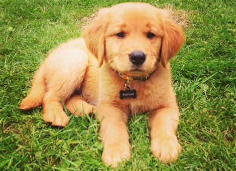 golden retriever venta cachorros golden retriever en medelln venta de cachorros golden retriever en bogot y