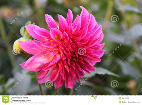 ultra pink dahlia autumn garden stock photo image