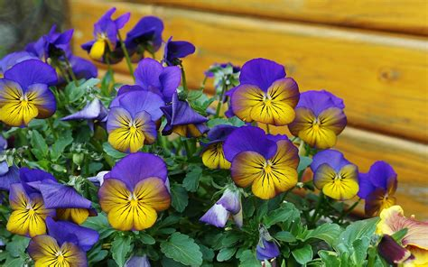 pansy flowers spring color blue yellow flowers nature
