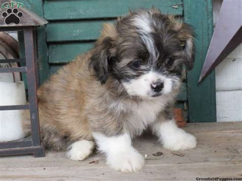 teddy puppies for sale in pa 214 best images about all things shichon aka teddy on
