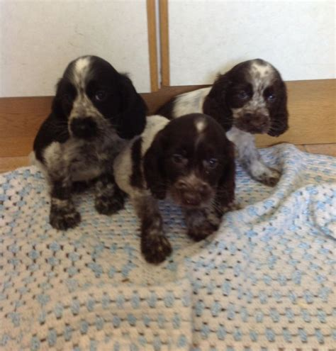 Do Cocker Spaniels Shed by 17 Best Images About Cocker Spaniel Shedding Dogs On