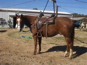 Horses For Sale In Tx For Sale Gentle Gelding From Flying M Ranch