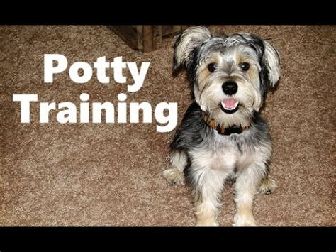 schnorkie puppies how to potty a schnorkie puppy snorkie house tips housebreaking