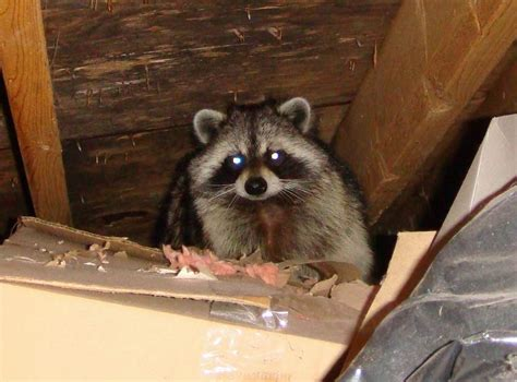 how to get rid of raccoons in my backyard raccoons in attic thinking out loud