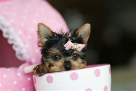 how much food should a yorkie eat teacup yorkies