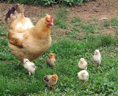 allevare animali da cortile le profilassi degli animali da cortile parafarmacia blue