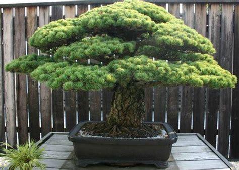 zen garden 27 photos home decor 11401 pines blvd japanese white pine national bonsai penjing museum