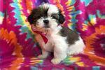 shih tzu puppies for sale in el paso tx shih tzu puppy for sale near el paso d49b9942 cd31
