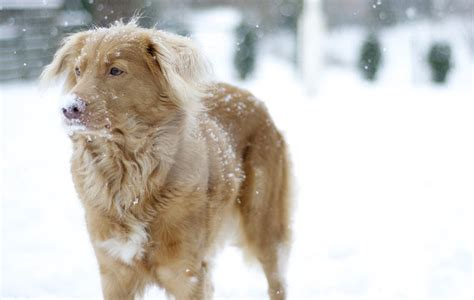 can golden retrievers be left alone 21 independent breeds that their own mind