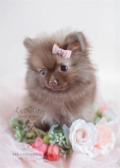 pomeranian puppies buy best 25 pomeranian haircut ideas on pomeranian hairstyles pomeranian