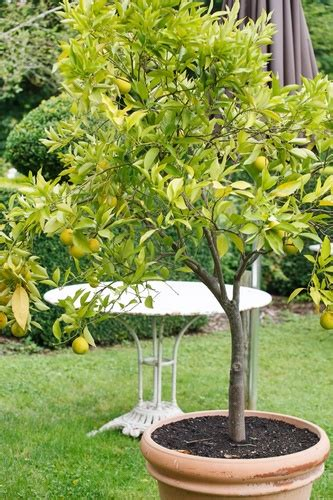 container gardening fruit trees growing fruit trees in containers home garden