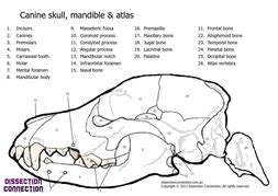 anatomy colouring book veterinary canine skull anatomical colouring in worksheet