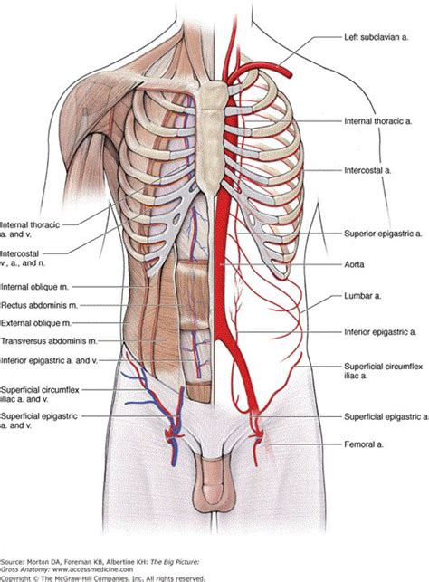 vascular supply and innervation of the anterior abdominal wall anatomy the o jays
