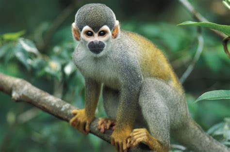 google images monkey bolivian squirrel monkey images google search animules