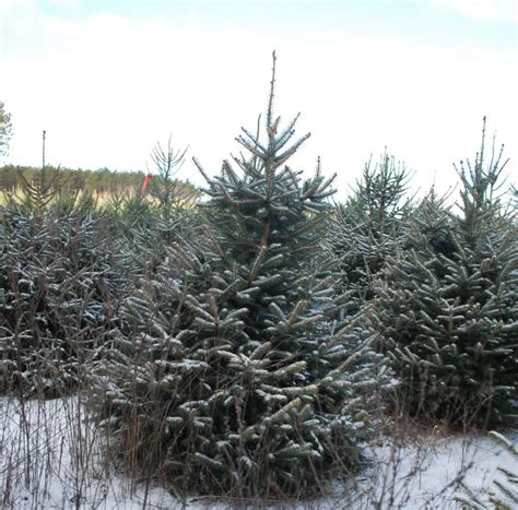 about our cut your own christmas tree farm wisconsin