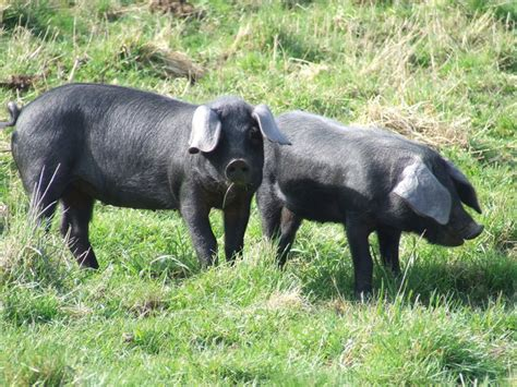 large black breeds file large black breed piglets jpg wikimedia commons