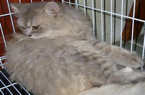 Vitamin Minyak Ikan Untuk Kucing kucing utara kebaikan minyak ikan kod untuk kucing
