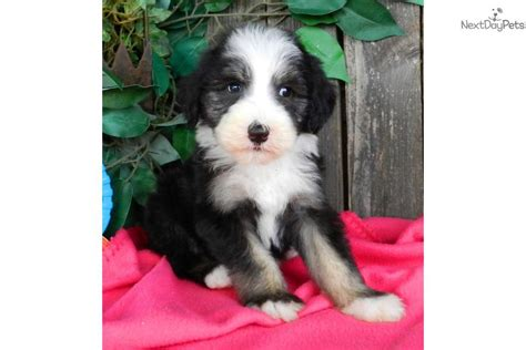 shepadoodle puppies for sale sheepadoodle puppies for sale florida breeds picture