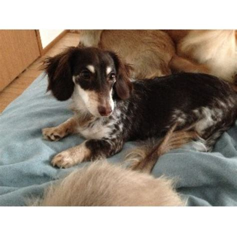 dachshund puppies wi dachshund doxie breeders in wisconsin freedoglistings